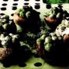 Ciuperci cu mazăre