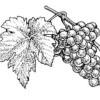 Vinuri: Soiuri de struguri 1