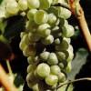 Vinuri: Soiuri de struguri albi 1