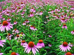 Plante medicinale: pirul